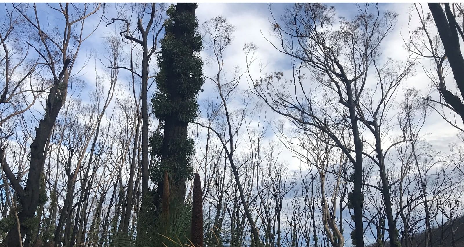 Burnt trees with regrowth on Mount Imlay.