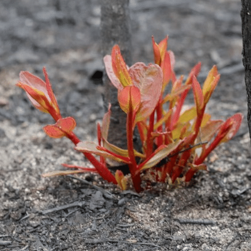 Text: image of new red plant growth from ash