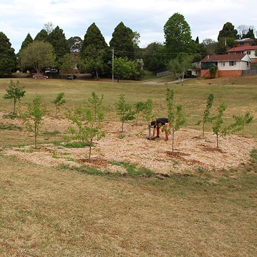 Council�s John Turville tending to the Manchurian Pear trees in Girraween Park.