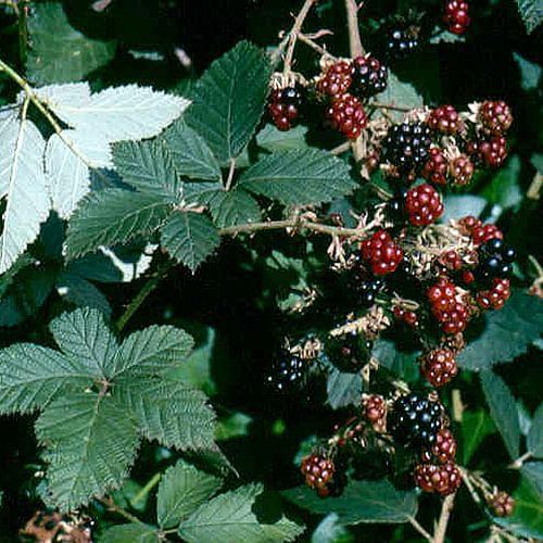 Blackberry bush with fruit