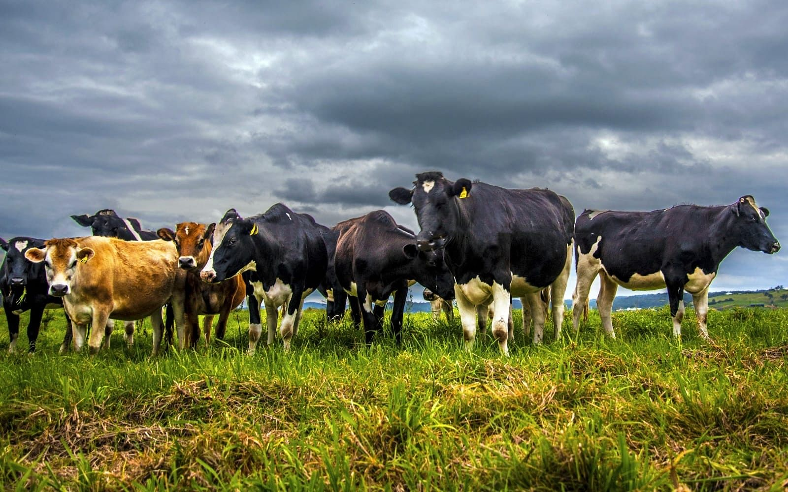Dairy cows in a paddock with a stormy sky overhead. Photo by Josh McCue.