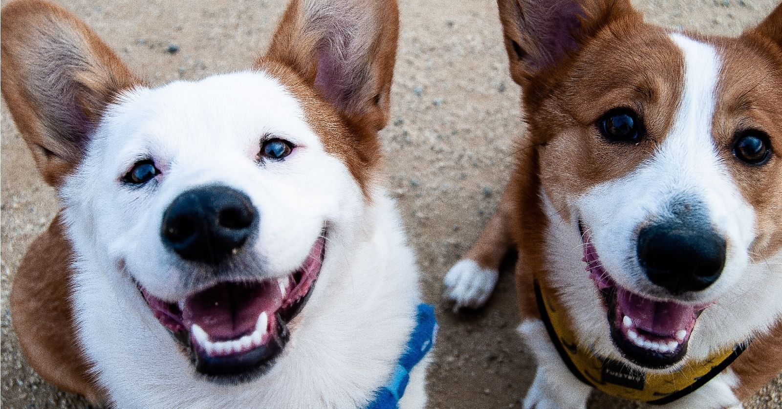 Photo Two white and tan dogs by gotdaflow on Unsplash.