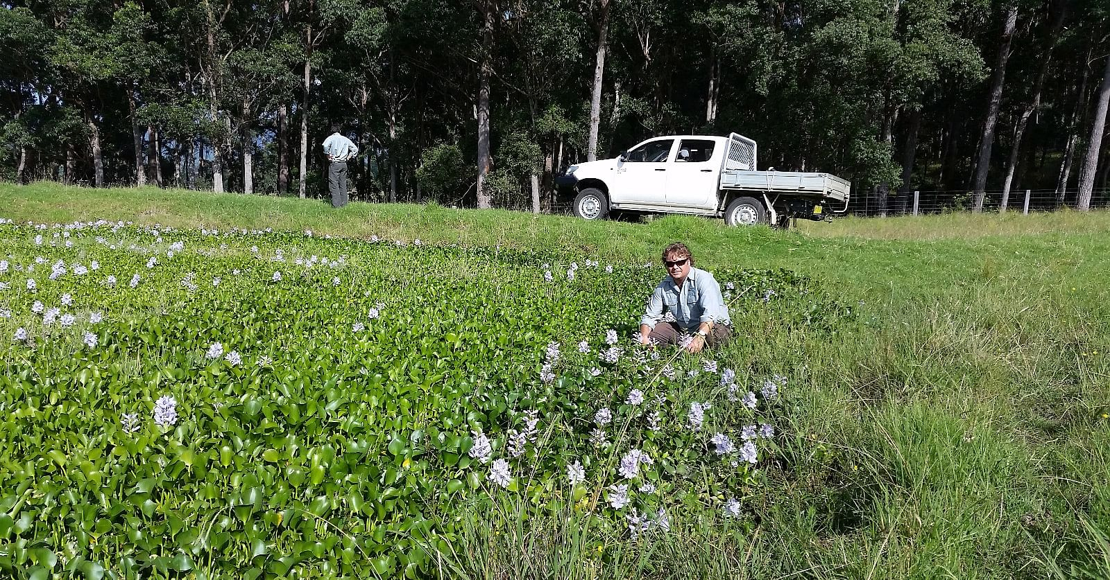 Biosecurity officers inspecting a dam in Cobargo covered in a state priority weed Water Hyacinth.