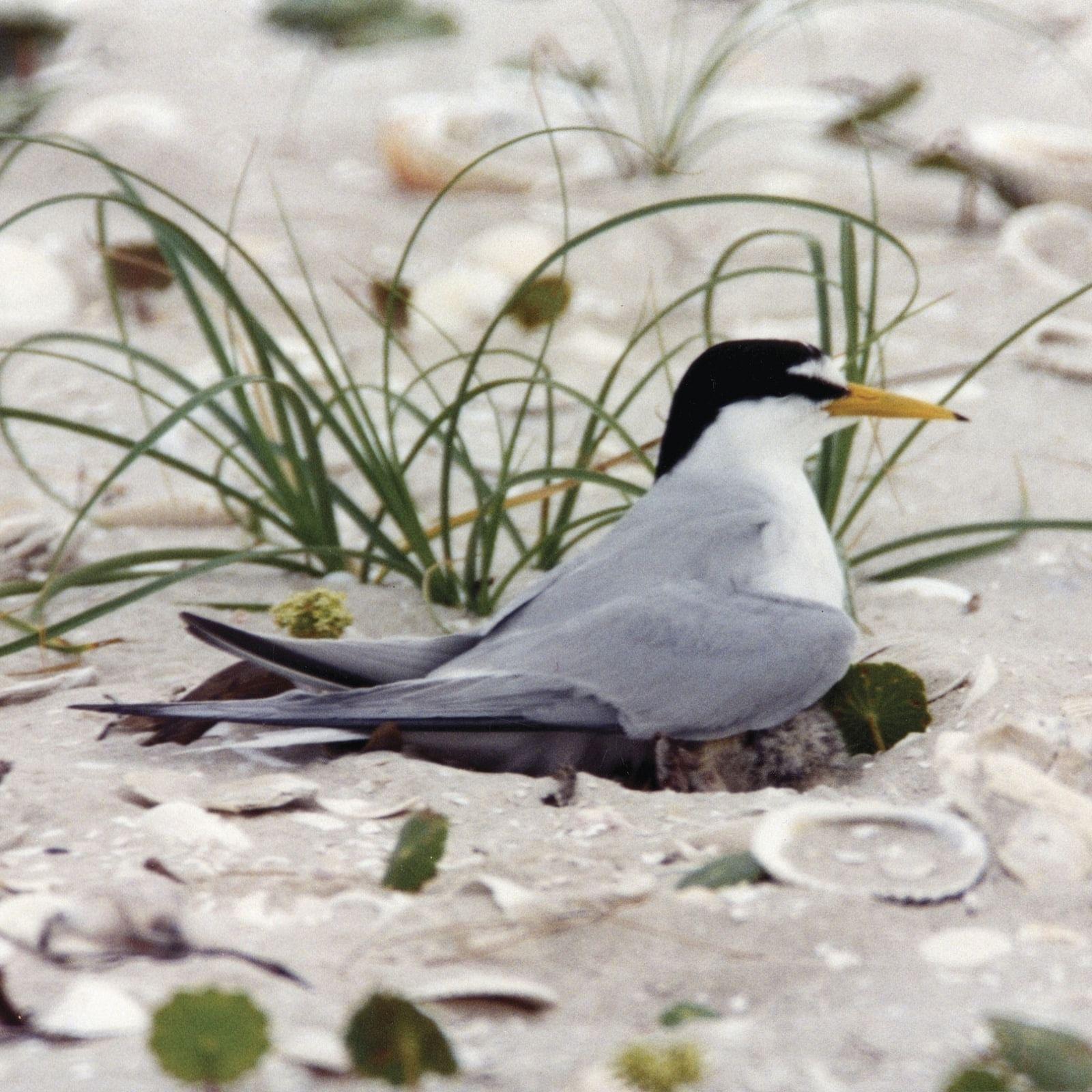 Little tern.