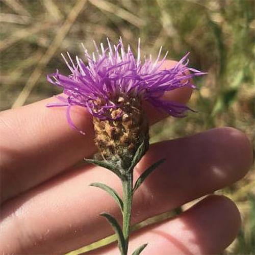 Black knapweed, a high risk weed.
